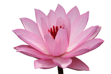 pink water-lilly isolated on white background