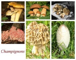 ceuillette de champignons comestibles