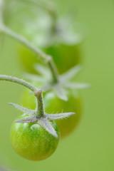 trio de tomates vertes