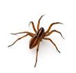 Leinwanddruck Bild - Wolf Spider