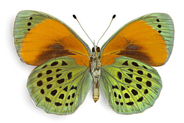 Asterope sapphira, ventral view