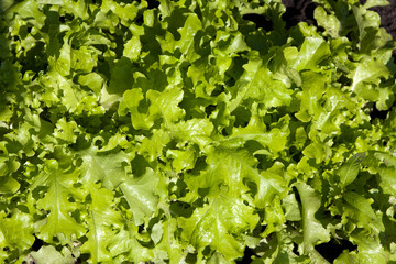 Lettuce growing in land field