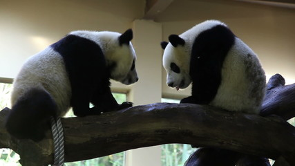 two young pandas