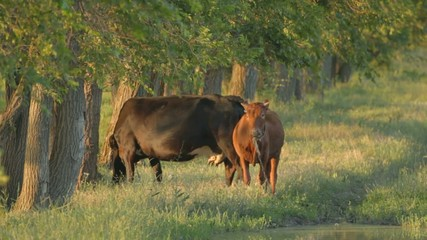 Black cow with brown calf standing on plain near trees