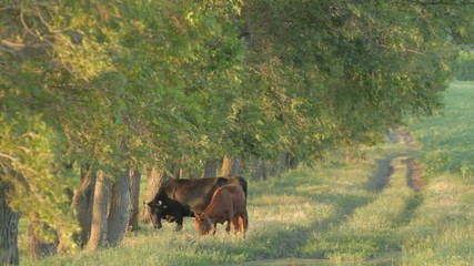 4 IN 1 EDIT Cow and calf grazing near deciduous tree