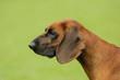 Bavarian mountain hound (Scenthound)  portrait