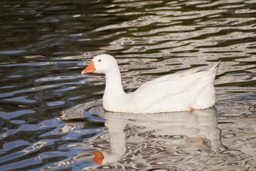 Snow goose swimming in the lake.
