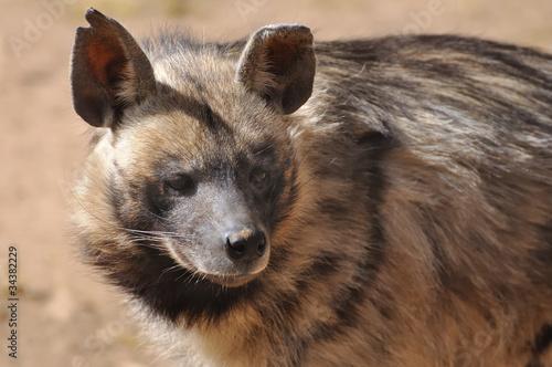 Papiers peints Hyène hyène rayée