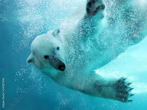 In de dag Ijsbeer Polar bear underwater attack