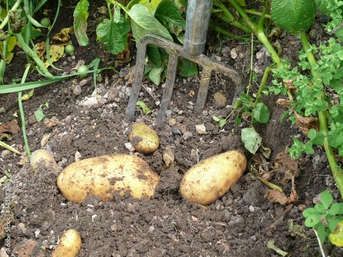 Kartoffeln aufgraben
