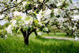 Fototapety apple tree