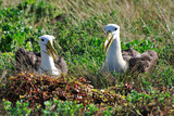 Waved Albatross- courtship display