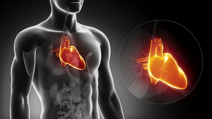 Detailed view - Male HEART anatomy in x-ray
