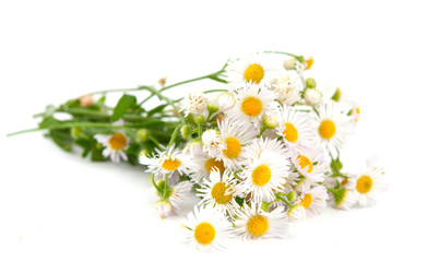 bouquet of daisies field
