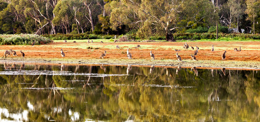 Kangaroo reflection on the lake
