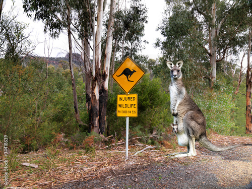 Deurstickers Kangoeroe Injured wildlife sign and kangaroo