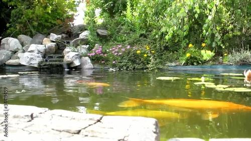 Bassin aquatique de carpe ko clip vid o libre de droits for Carpe koi tarif