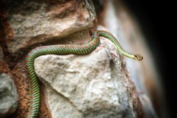 Paradise Snake