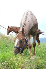 cavalli al pascolo sul prato