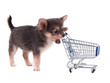 Chihuahua puppy and shopping cart isolated on white background