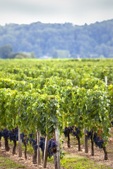Vin, vignoble, vigne, Bordeaux, Saint-Emilion, raisin, grappe
