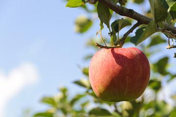 青空と青森りんご