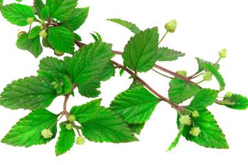 Aztekisches Süßkraut (Lippa Dulcis), pflanzlicher Zuckerersatz