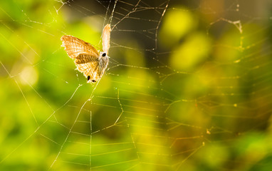 Butterfly trapped in an abandoned spider's web