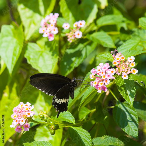 Common Mormon Butterfly Feeding on Lantana