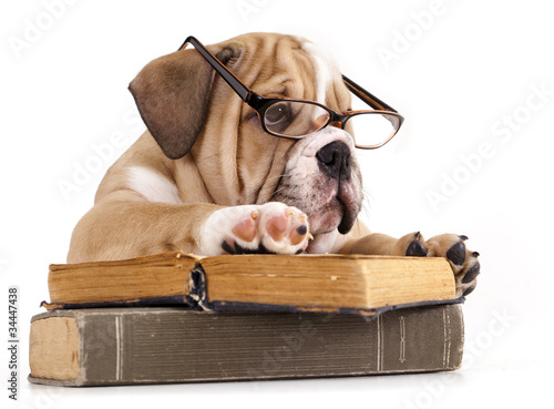 purebred english Bulldog in glasses and book