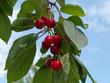 Süßkirschen -  Prunus avium