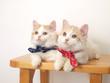 バンダナをつけた2匹の子猫(マンチカン)