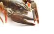 Leinwandbild Motiv lobster closeup