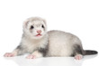 Silver ferret lying on white background