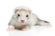 ferret baby lying on white background