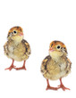 yellow little quails