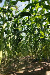 Field of Indian corn on blue sky