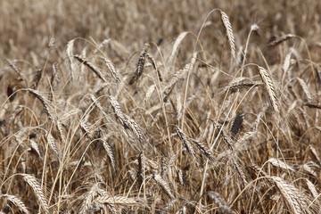 Field of ripe rye or wheat