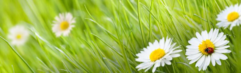fleur pâquerette et herbe verte avec une coccinelle et un pré
