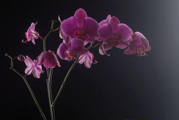 Semplice orchidea II