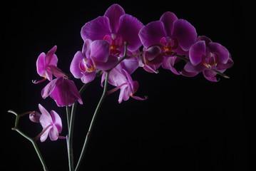Semplice orchidea