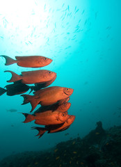 School of Crescent-tailed Bigeye Fish