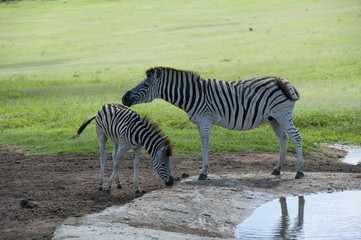 Zebra mare and filly share a moment