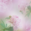 Beautiful peony background