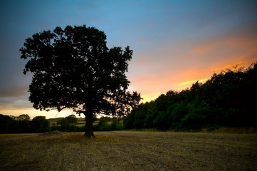 oak tree sunset
