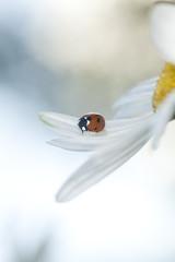 Ladybug on daisy, bright sunlight