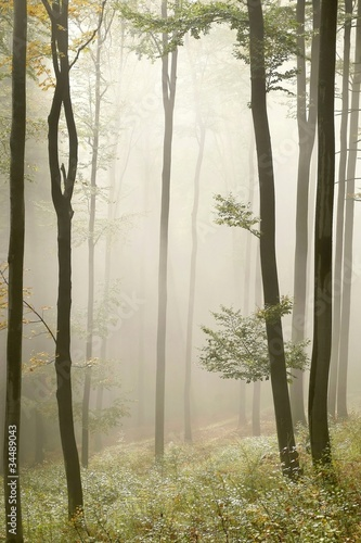 Misty autumn beech forest © joda
