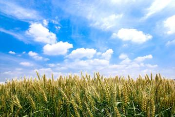小麦畑と青空