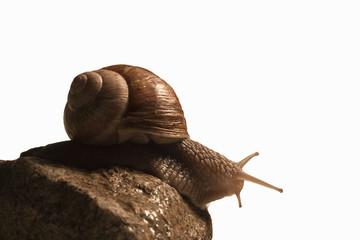 Escargot sur pierre