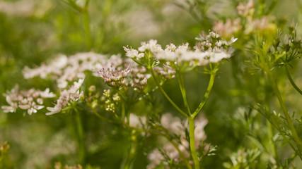 Cilantro in Bloom